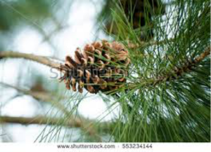 SummerPineconeBranch